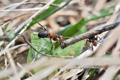 Macro detail of forest ant moving small wood for building up anthill. Close up ant royalty free stock image