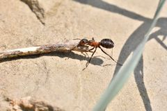 Macro detail of forest ant moving small wood for building up anthill. Close up ant stock photos