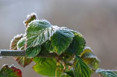 Frosty Leaves of Black berry stock photo
