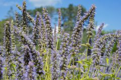 Detail of french lavender blossoms garden Stock Photo