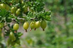 Gooseberry. Macro detail of gooseberry plant and fruit Stock Photo