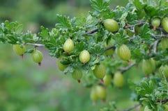 Gooseberry. Macro detail of gooseberry plant and fruit Stock Photos