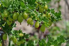 Gooseberry royalty free stock image
