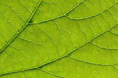 Macro detail of green leaf. Arteries Stock Photos