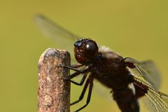 Macro detail of head of dragonfly. Dragonfly sitting and flying on the grass near the water royalty free stock photography