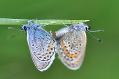 Large Blue Butterfly having sex. Macro detail of Large Blue Butterfly on a meadow having sex stock photography