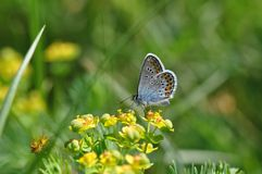 Large Blue Butterfly stock photography