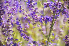 Macro detail of lavender plants background on a garden Royalty Free Stock Photos