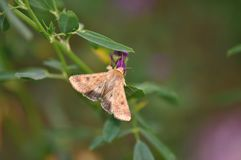 Moth butterfly. Macro detail of moth butterfly on a alfalfa flower Stock Image