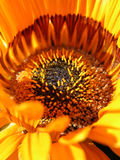 Macro detail of orange gerbera flower Royalty Free Stock Photography