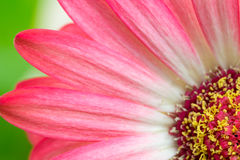 Macro detail of a pink Gerbera flower Stock Image