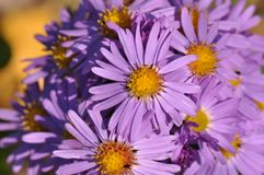European michaelmas daisy Aster amellus. Macro detail of Purple Aster amellus flower royalty free stock photos