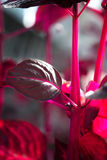 Macro detail of a purple tropical plant `iresine herbstii aureoreticulata`. In a greenhouse royalty free stock images