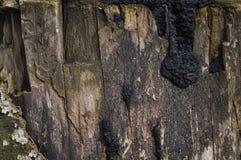 Rotten log. Macro detail of rotten Log with black mushroom Stock Photos