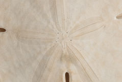 Macro Detail of Sand Dollar Royalty Free Stock Photo