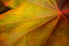 Macro Detail of a Single Fall Autumn Maple Leaf Royalty Free Stock Image