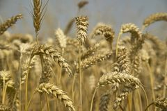 Ears of barley with a high level of detail Stock Image