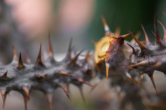 Macro detail of stem with spines of a tropical ground plant Royalty Free Stock Image