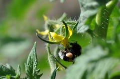 Tomato yellow flower and bumble bee. Macro detail of tomato yellow flower with bumble bee stock photos