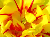 Macro detail of tulip blossom. Macro detail of yellow tulip flower Royalty Free Stock Photo