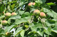 Unripe fruit apple. Macro detail of unripe apple in a in a tree royalty free stock image