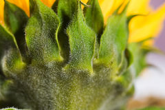 Macro detailed green sunflower leaves Royalty Free Stock Images