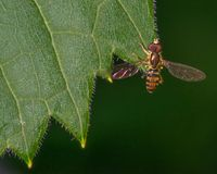 Macro detailed image of flower fly species on a green leaf - taken in Minnesota.  stock photos