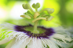 Macro detailed of a passion fruit flower Royalty Free Stock Image