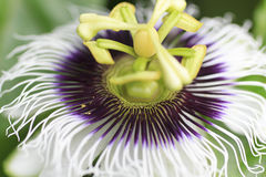 Macro detailed of a passion fruit flower Stock Photo