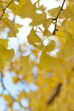 Macro details of autumn Ginkgo leaves Royalty Free Stock Photos