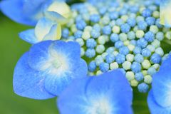 Macro details of blue hydrangea flower Royalty Free Stock Photography