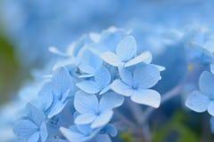 Macro details of blue hydrangea flower Stock Images