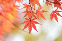 Macro details of changing color Japanese Autumn Maple leaves Stock Photography