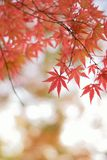 Macro details of changing color Japanese Autumn Maple leaves Stock Photos