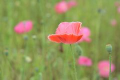 Macro details of colorful poppy flowers at field. In horizontal frame Royalty Free Stock Photo