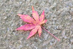 Macro details of fallen vivid colored Japanese Autumn Maple leaf Stock Photos