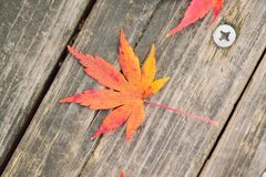 Macro details of fallen vivid colored Japanese Autumn Maple leaf Stock Photo
