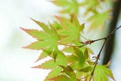 Macro details of fresh green Japanese Maple leaves in horizontal frame Stock Photo