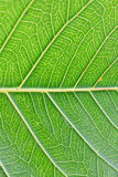 Macro details of green leaf veins in vertical frame Royalty Free Stock Photos