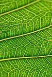 Macro details of green leaf veins in vertical frame Stock Photo