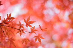 Macro details of Japanese Autumn Maple leaves with blurred background Royalty Free Stock Photos