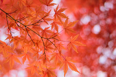Macro details of Japanese Autumn Maple leaves with blurred background Stock Photos