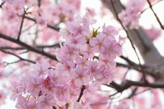 Macro details of Japanese Pink Cherry Blossoms royalty free stock photos
