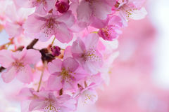 Macro details of Japanese Pink cherry Blossoms in horizontal frame Royalty Free Stock Image