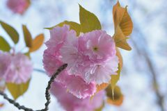 Macro details of Japanese Pink Cherry Blossoms of Yamazakura variery stock images