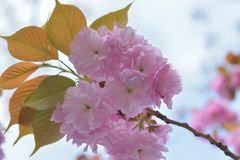 Macro details of Japanese Pink Cherry Blossoms of Yamazakura variery royalty free stock image