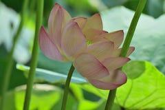 Macro details of Japanese Pink Lotus flower in horizontal frame. Macro texture of Japanese Pink Lotus flower at Pond waters Royalty Free Stock Images