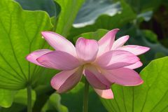 Macro details of Japanese Pink Lotus flowers at garden. In horizontal frame Royalty Free Stock Image