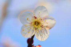 Macro details of Japanese White Plum blossoms in sunshine Stock Photos