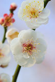 Macro details of Japanese White Plum blossoms in sunshine Royalty Free Stock Photography